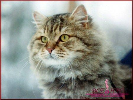Сибирская кошка – уютный домашний друг